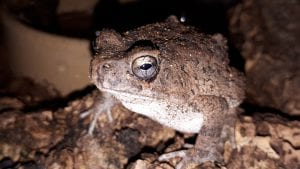 Square Marked Toad WC (Amietophrynus regularis) Image