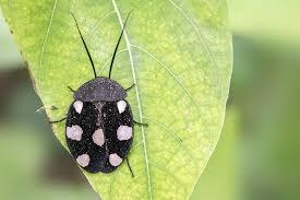 Domino Cockroach CB (Therea petiveriana) Image