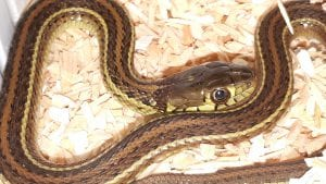 Diluvial Garter Snake CB (Thamnophis eques patzcuraoensis) Image