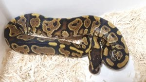 Yellow Belly Royal Python CB (Python regius) Image