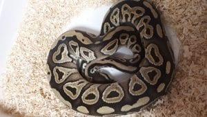 Mojave Royal Python CB (Python regius) Image