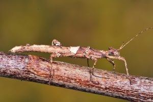 Sunny Stick Insect CB (Sungaya inexpectata) Image