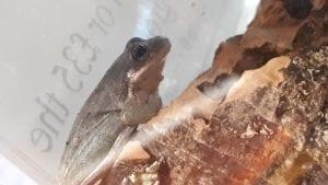 Squirrel Tree Frog WC (Hyla squirrela) Image