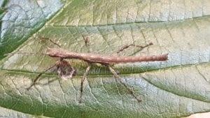 Guadaloupe Stick Insect CB (Lamponius guerini) Image