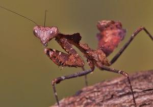 Dead Leaf Mantis CB (Deroplatys dessicata) Image