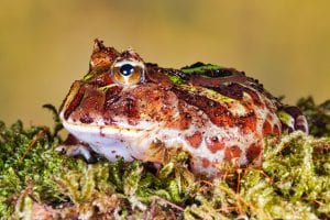 Brazilian Pacman Frog CB (Ceratophrys aurita) Image