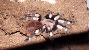 White Striped Birdeater Tarantula CB (Nhandu chromatus) Image