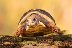 Red Foot Tortoise CB (Chelonoides carbonaria) Image