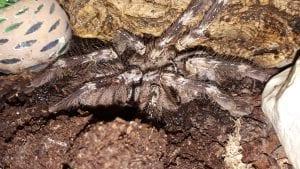 Yellow Backed Ornamental Tarantula CB (Poecilitheria smithi) Image