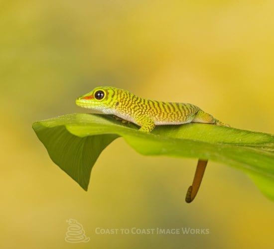 Madagascan Giant Day gecko – Phelsuma grandis