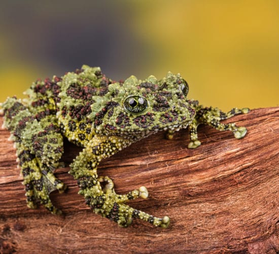Mossy Frogs
