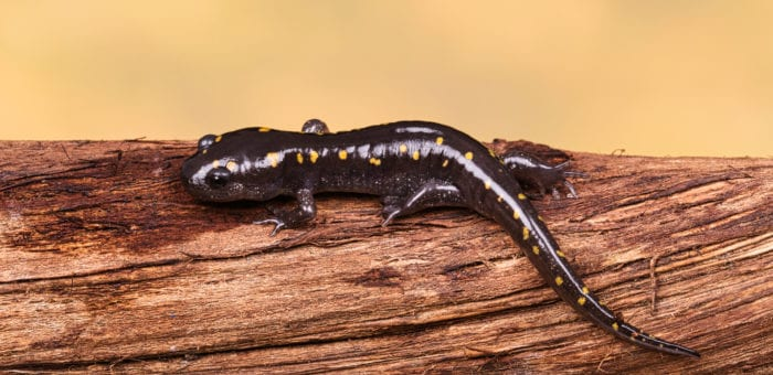Spotted Salamanders – Ambystoma maculatum