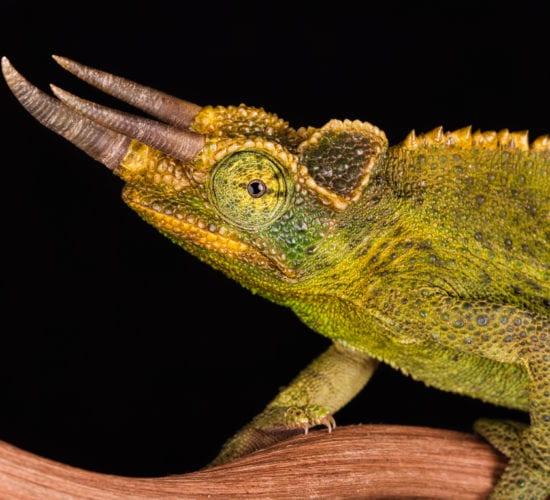 Jacksons Chameleons