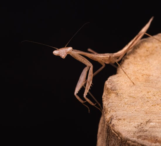 Keeping mantids as pets