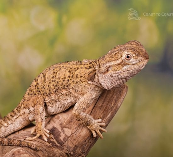 Rankins Dragon (Pagona henrylawsoni)