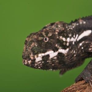 Red Ambilobe Panther Chameleon (Furcifer pardalis)