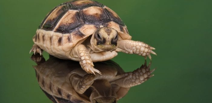 Waking up tortoises after their winter sleep – yawn!