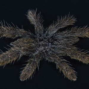 Feather Legged Baboon spiderling