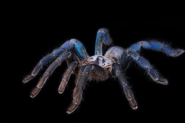 Cobalt Blue Tarantula (Cyriopagapus lividum)