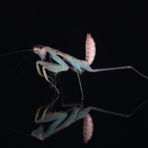Togo Mantis (Sphodromantis sp. 'Togo')