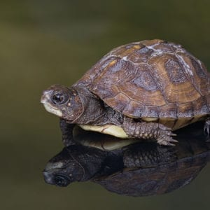 Gulf Coast Box Turtle (Terrapene carolina major)