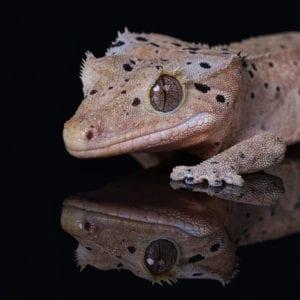 Dalmation Crested Gecko (Correlophus ciliatus)